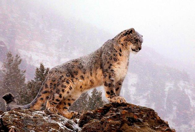 Снежный барс, ирбис - редкое животное