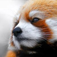 Красная панда — «блестящий» зверек