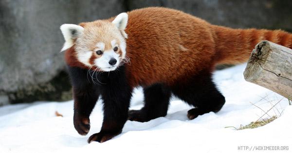 Малая панда или красная панда (Ailurus fulgens)