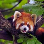 Красная или малая панда