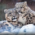 Снежный барс, ирбис — редкое животное