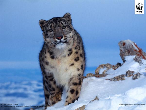 Снежный барс, ирбис - животное из красной книги