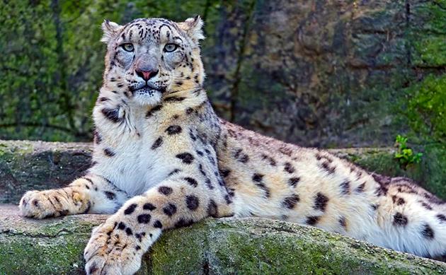 В природе барсу живут, в среднем, 13 лет, а в зоологических парках могут жить в двое больше
