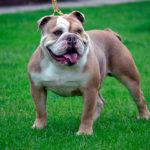 Породы собак: Английский бульдог
