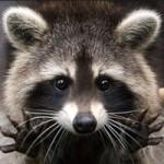 Енот-полоскун как домашнее животное