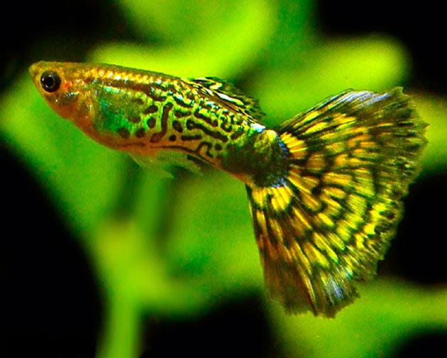 Стоимость рыбок гуппи варьируется от вида, но в основном укладывается в 90-110 рублей за штуку
