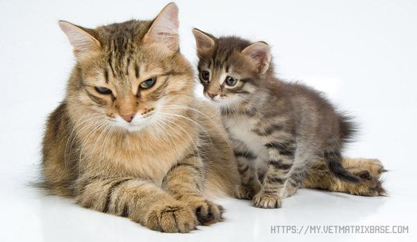 Гельминты - опасное кошачье заболевание
