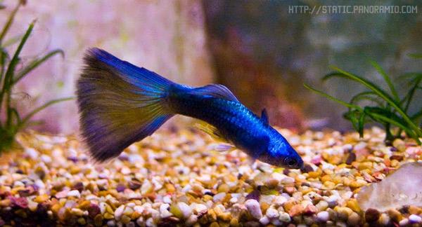 Рыбки Гуппи - рыбка для маленького аквариума