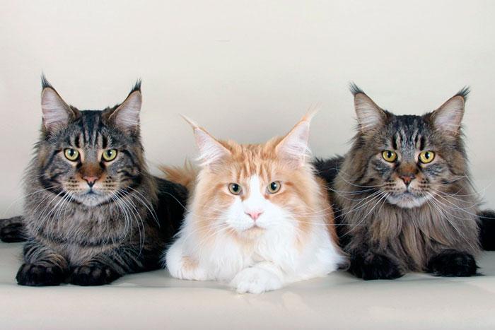 Официальным заводчиков мейн-кунов запрещается продавать котят менее трех месяцев