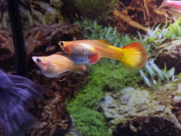 Разведение и размножение аквариумных рыбок гуппи напрямую зависит от температурного режима где они содержатся