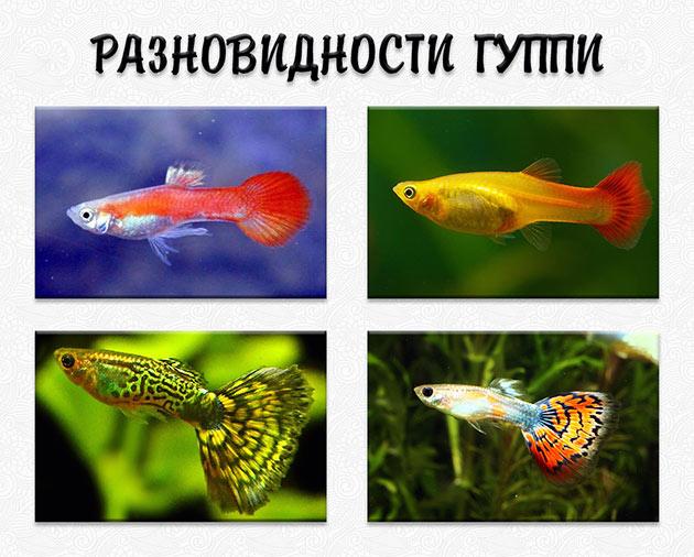 Известен ряд разновидностей рыбок гуппи, отличающихся по форму и окрасу