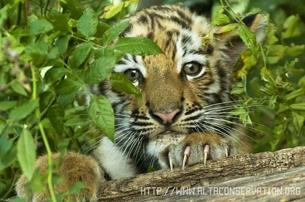 Амурский тигр - животное из красной книги