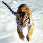 amurskiy-tigr-main