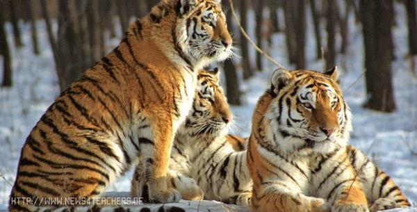 Редкие животные из красной книги Амурский уссурийский тигр