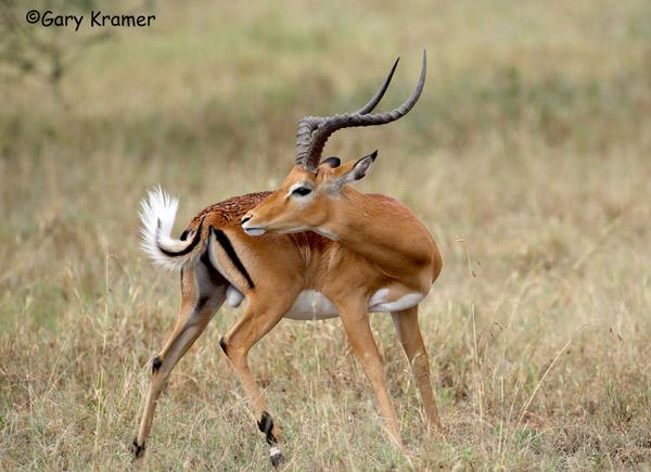 Антилопа Импала или чернопятая антилопа
