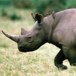 Черный носорог — могучее животное