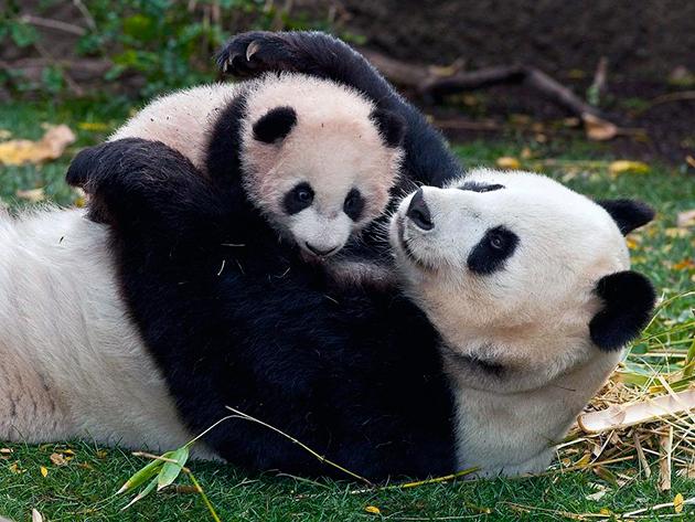 Самка большой панды рожает всего лишь 1 раз в 2 года