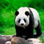 Панда или бамбуковый медведь