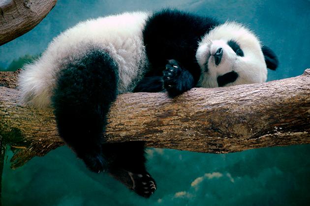 Большие панды нерасторопны и порой даже ленивы