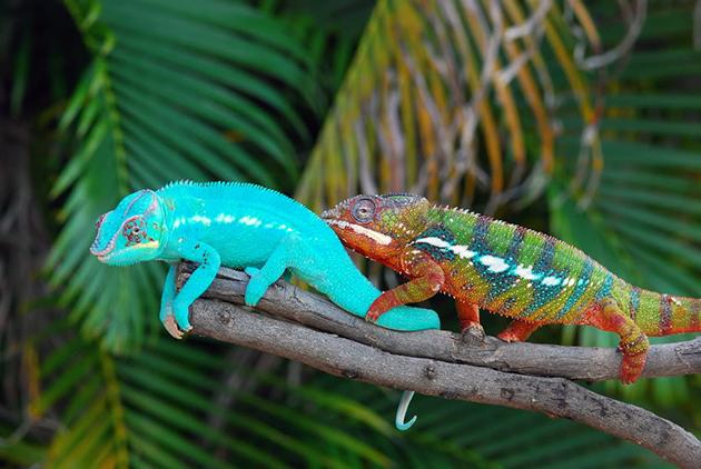 Самцы хамелеона более крупные и яркие, чем самки