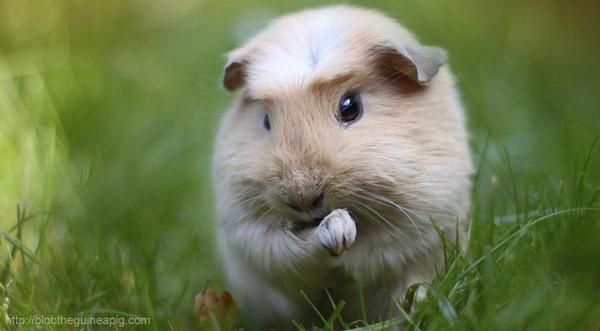 Морская свинка - описание, содержание и уход, купить