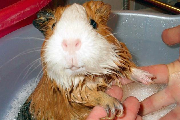 Водные процедуры морским свинкам делать по мере необходимости, а вот шерсть расчесывать необходимо еженедельно