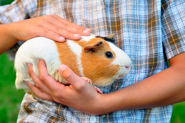 Владельцы с любовью отзываются о своих морских свинках