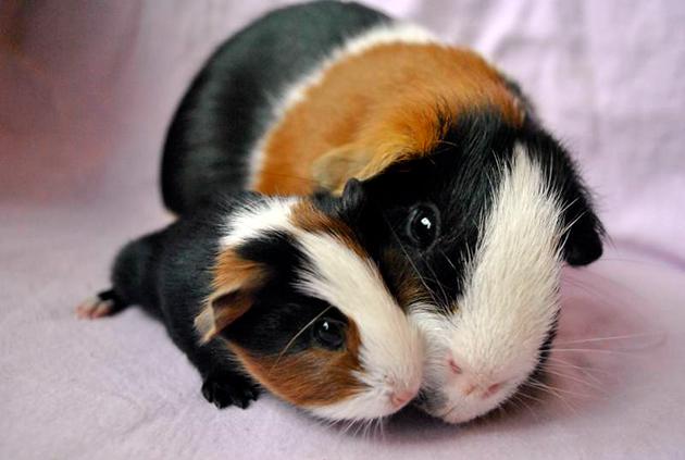 Спаривать свинок рекомендуют в возрасте не ранее полугода