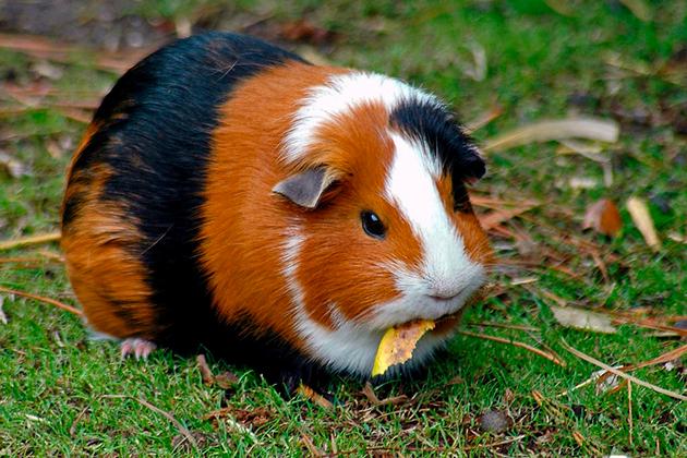Внешний вид морских свинок сильно разница от породы