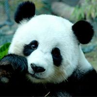 Панда. Бамбуковый медведь или рыжий енот