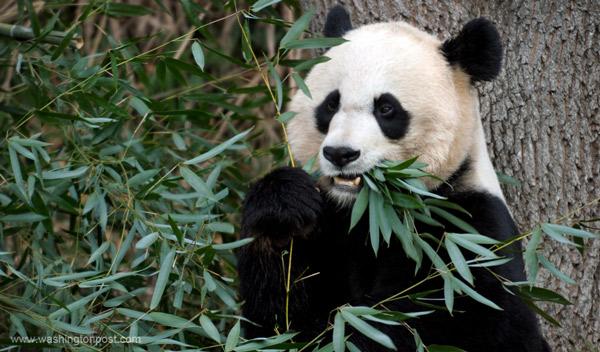 медведь фото панда