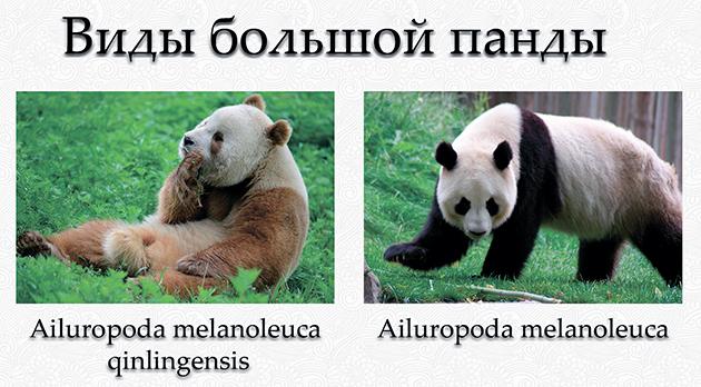 На сегодняшний день выделяют 2 подвида у Большой панды