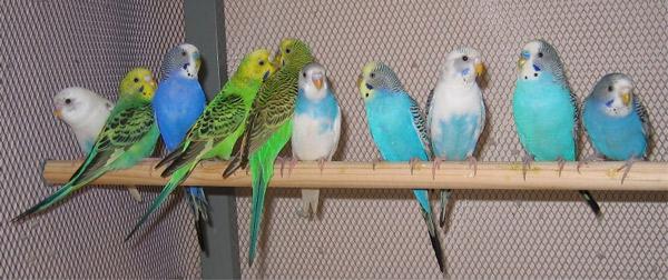 pПочему попугай выщипывает перья