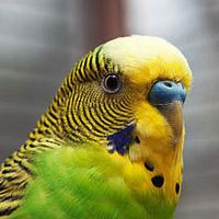 Почему попугай выщипывает перья