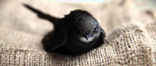 Самые быстрые животные - Черный стриж