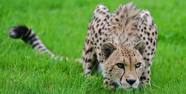 Самые быстрые животные - Гепард