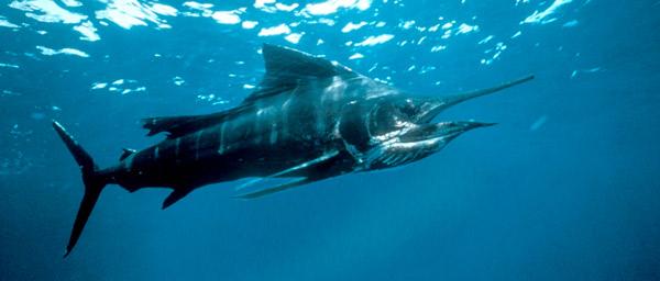 Самые быстрые животные - Рыба-парусник
