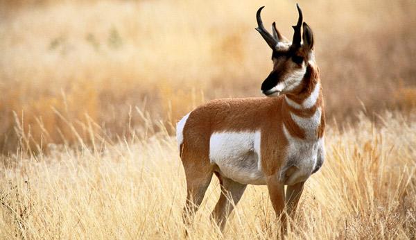 Самые быстрые животные - Вилорогая антилопа