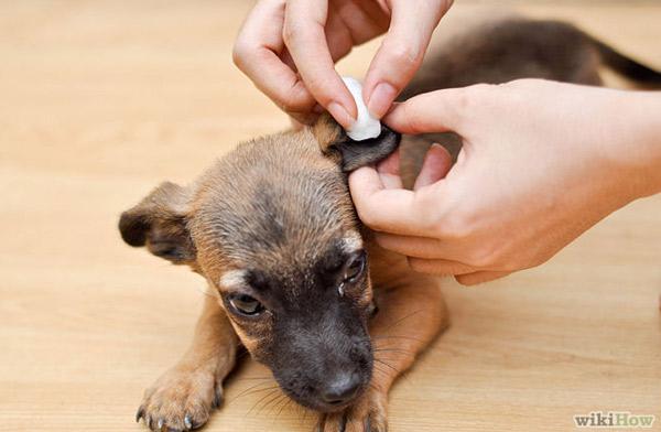 Почему чешутся уши у собак