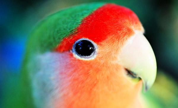 Попугаи-неразлучники