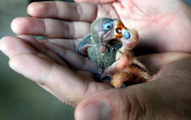 Идеальный период размножения для попугаев не разлучников — ранняя осень