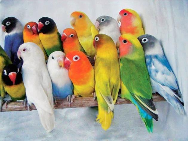 Существует множество подвидов неразлучников, самой разнообразной окраски