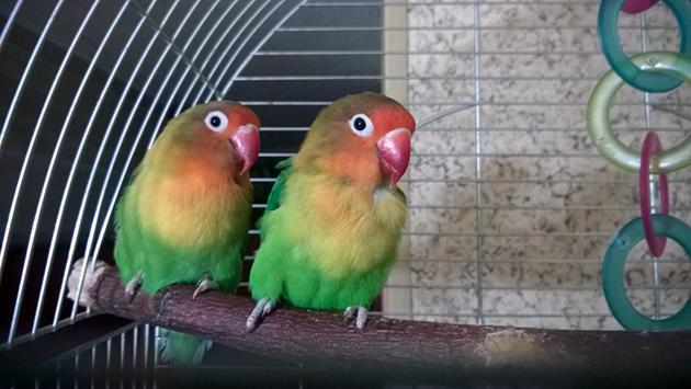 При покупке неразлучники обратите на активность попугая, он не должен быть вялым и малоподвижным