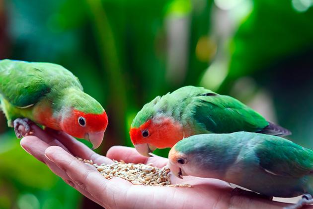 При должном уходе попугаи-неразлучники редко болеют