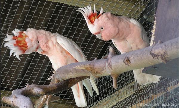 Попугай Какаду - фото