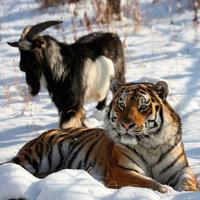 Козел Тимур и Тигр Амур
