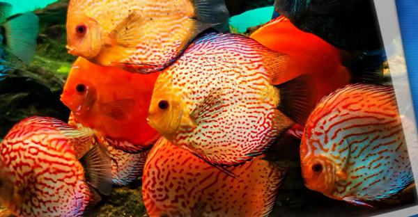 Дискусы: обустройство аквариума