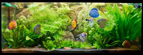 Содержание дискусов в аквариуме