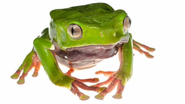 Двухцветная филломедуза - Самые ядовитые и опасные лягушки
