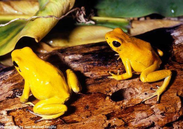 Золотая лягушка - Самые ядовитые и опасные лягушки